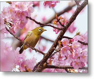 Japanese White-eye On Cherry Blossoms Metal Print by David A. LaSpina
