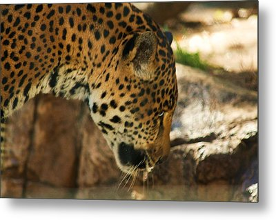 Jaquar Drinking Water Metal Print by Russell  Barton