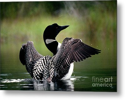 Jasper - Loon 2 Metal Print by Terry Elniski