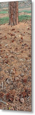 Jeffrey Pine Trunk And Pine Cones Metal Print by Panoramic Images