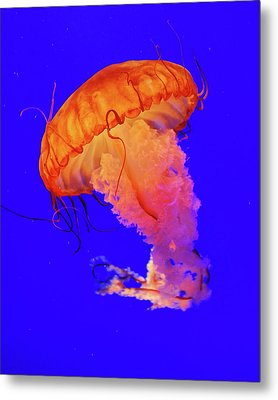 Jelly Fish Metal Print by Davidhuiphoto
