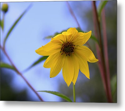 Jerusalem Artichoke And Blue Sky Metal Print