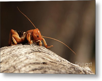 Metal Print featuring the photograph Jerusalem Cricket On Textured Log by Max Allen