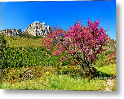 Metal Print featuring the photograph Judas Tree In Sainte Baume by Olivier Le Queinec