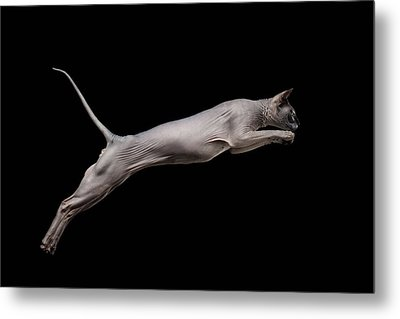 Jumped Sphynx Cat Isolated On Black Metal Print by Sergey Taran