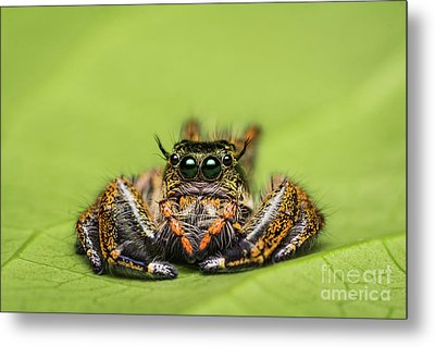 Metal Print featuring the photograph Jumping Spider On Green Leaf. by Tosporn Preede