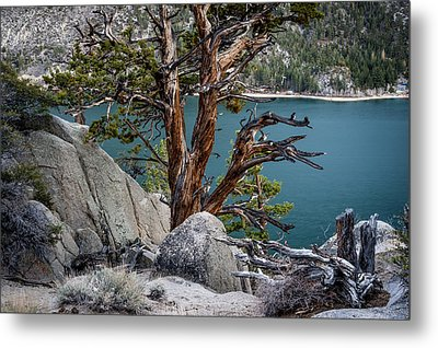 June Lake Juniper Metal Print by Cat Connor
