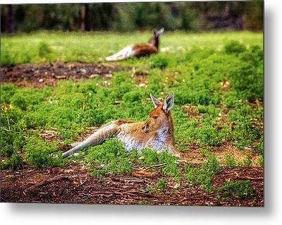 Just Chillin, Yanchep National Park Metal Print