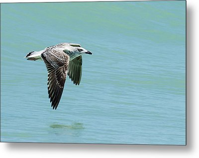 Juvenile Great Black-backed Gull In Flight Metal Print by Dawn Currie