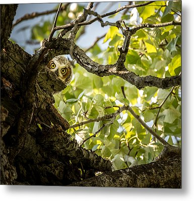 Juvenile Great Horned Owl // Whitefish, Montana  Metal Print