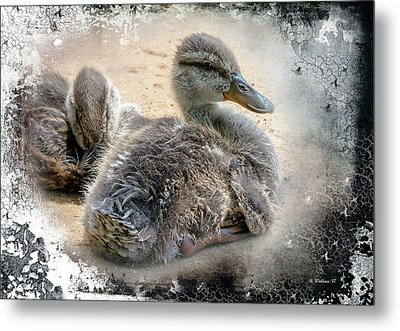 Juvenile Mallards With Textured Edge Metal Print