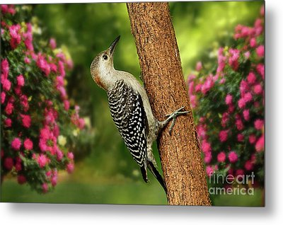 Metal Print featuring the photograph Juvenile Red Bellied Woodpecker by Darren Fisher