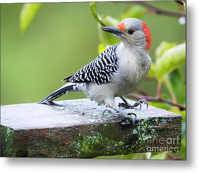Metal Print featuring the photograph Juvenile Red-bellied Woodpecker In The Rain by Ricky L Jones