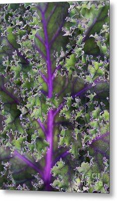 Kale Redbor Leaf Metal Print