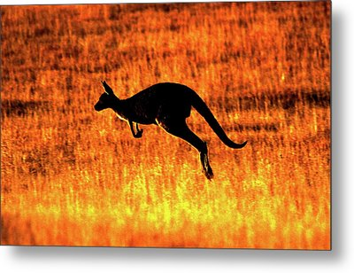 Kangaroo Sunset Metal Print