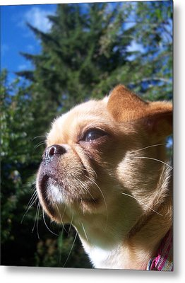 Karma The Pug Chihuahua Metal Print by Ken Day