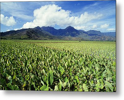 Kauai, Wet Taro Farm Metal Print by Bob Abraham - Printscapes