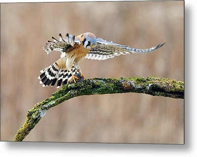 Kestrel Falcon Hunting On The Wing Metal Print by Scott  Linstead