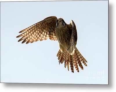 Metal Print featuring the photograph Kestrel Hover by Mike Dawson