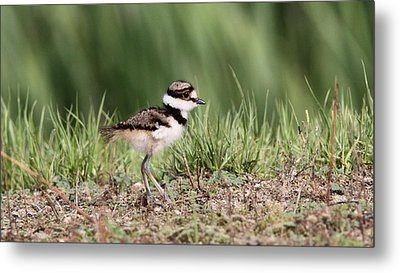 Killdeer - 24 Hours Old Metal Print