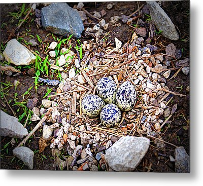 Killdeer Nest Metal Print