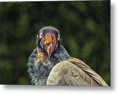 King Vulture Metal Print by Martin Newman