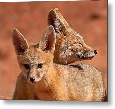 Kit Fox Pup Snuggling With Mother Metal Print by Max Allen