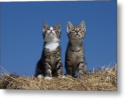 Kittens Watch A Bird Metal Print