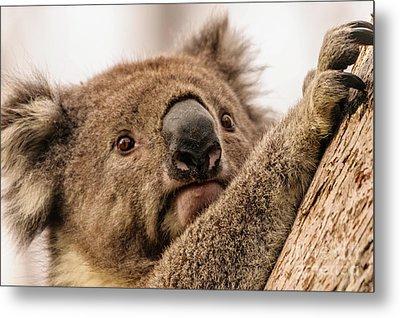 Koala 3 Metal Print by Werner Padarin