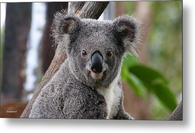 Koala Bear 7 Metal Print by Gary Crockett