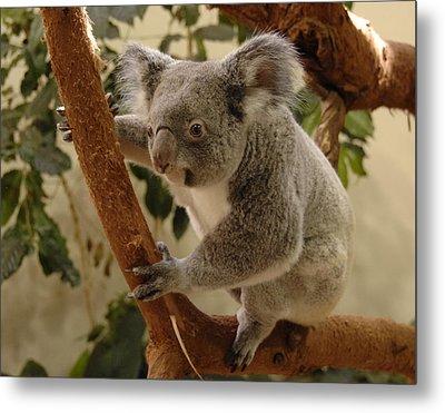 Koala Bear II Metal Print