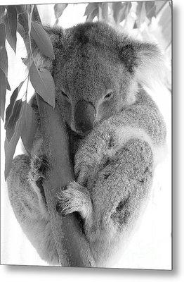 Koala Bear Metal Print by Terry Burgess