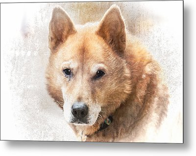 Korean Jindo Portrait Metal Print