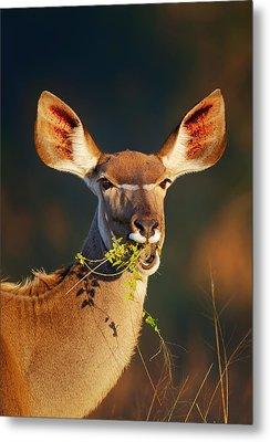 Kudu Portrait Eating Green Leaves Metal Print by Johan Swanepoel