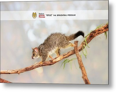 Kyle The Brushtail Possum, Native Animal Rescue Metal Print