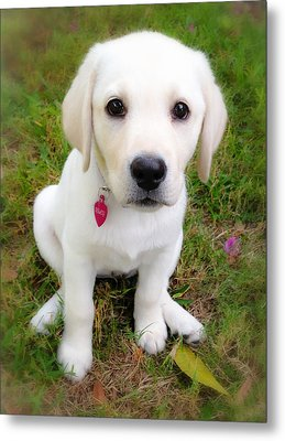 Lab Puppy Metal Print by Stephen Anderson