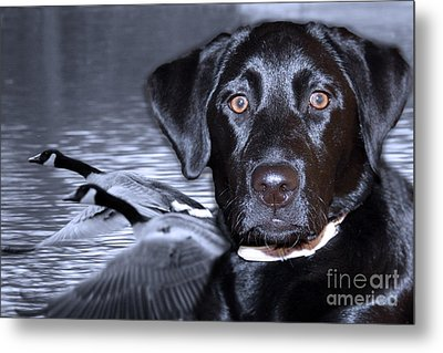 Labrador Retriever Thoughts  Metal Print