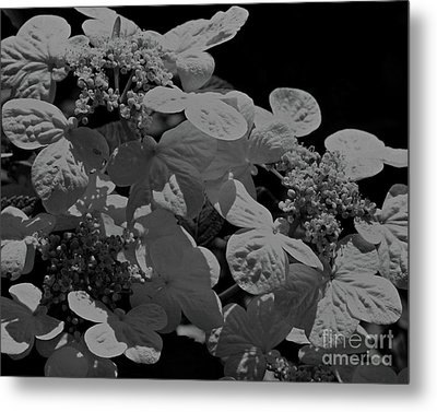 Metal Print featuring the photograph Lace Cap Hydrangea In Black And White by Smilin Eyes  Treasures