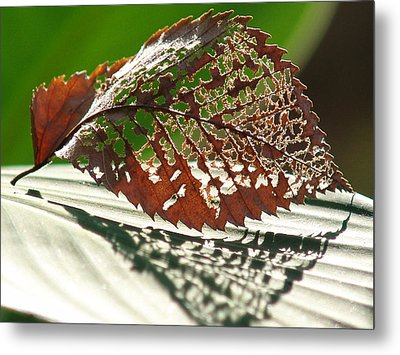 Lacy Leaf Metal Print by Kevin Callahan
