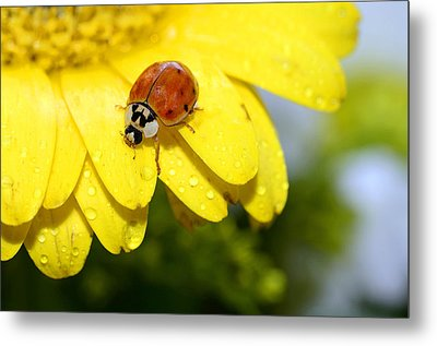 Ladybird Beetle A Ladybug Metal Print by Laura Mountainspring