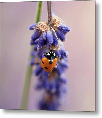Ladybird On Norfolk Lavender  #norfolk Metal Print by John Edwards