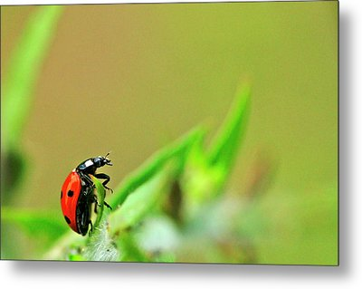 Ladybug Metal Print by Bill Morgenstern