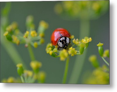 Ladybug In Red Metal Print by Janet Rockburn