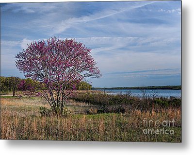 Lake Murray Redbud Tree Metal Print by Tamyra Ayles