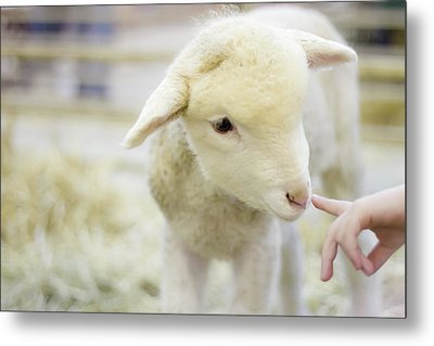 Lamb At Denver Stock Show Metal Print by Anda Stavri Photography