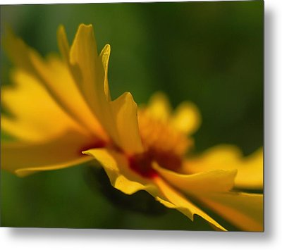 Lance Leaved Coreopsis Metal Print by Juergen Roth