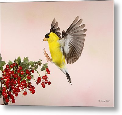 Landing For A Quick Charge At The Currant Bush Metal Print