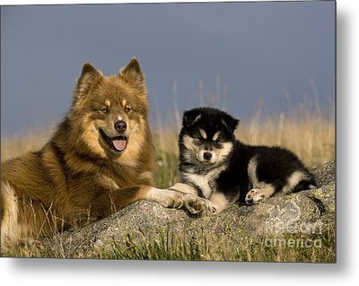 Lapinkoira Dog And His Pup Metal Print by Jean-Louis Klein & Marie-Luce Hubert