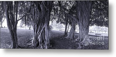 Large Banyan Trees In A Park Metal Print