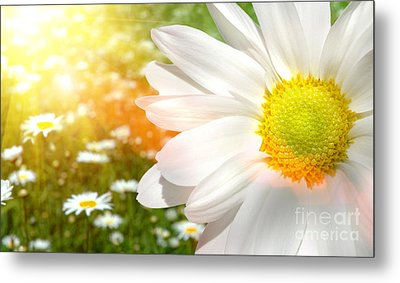 Large Daisy In A Sunlit Field Of Flowers Metal Print by Sandra Cunningham